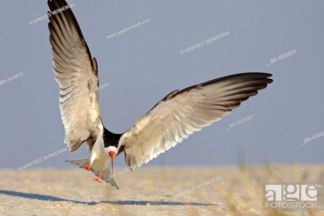 Stock Photo: African skimmer (Rynchops flavirostris) landing, Chobe River, Chobe National Park, Botswana.