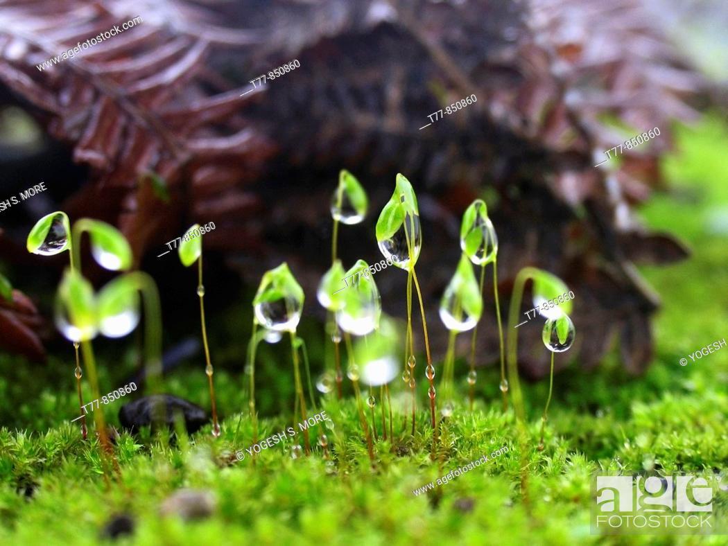 Stock Photo: Closeup of dewdrops on Moss Head Bhimashankar, Maharashtra, India.