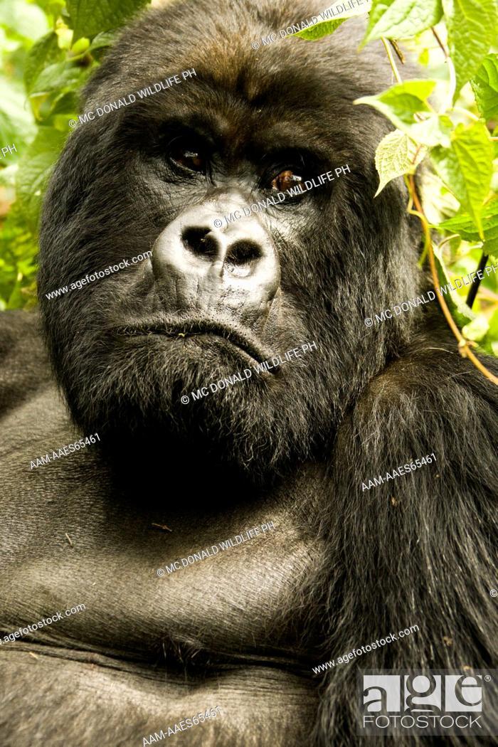 Stock Photo: Mountain Gorilla (Gorilla beringei beringei) Sabinyo Group, in the vegetation of Volcanos NP, Rwanda.