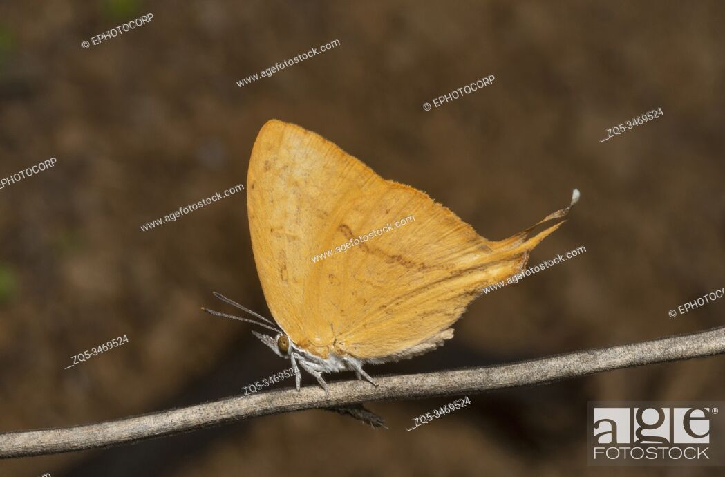 Stock Photo: Yamfly Butterfly, Loxura atymnus, Thane, Maharashtra, India.