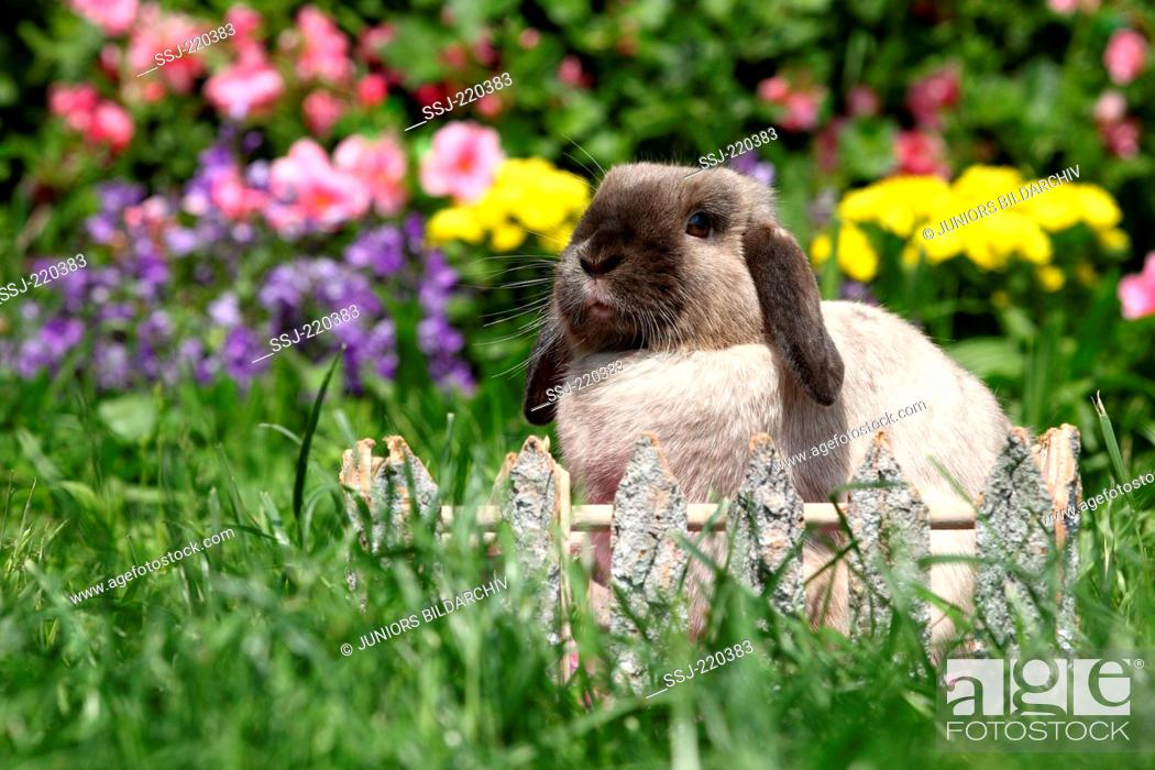 Stock Photo: Dwarf Rabbit, Mini Lop. Adult sitting behind a small wooden fence in a garden. Germany.