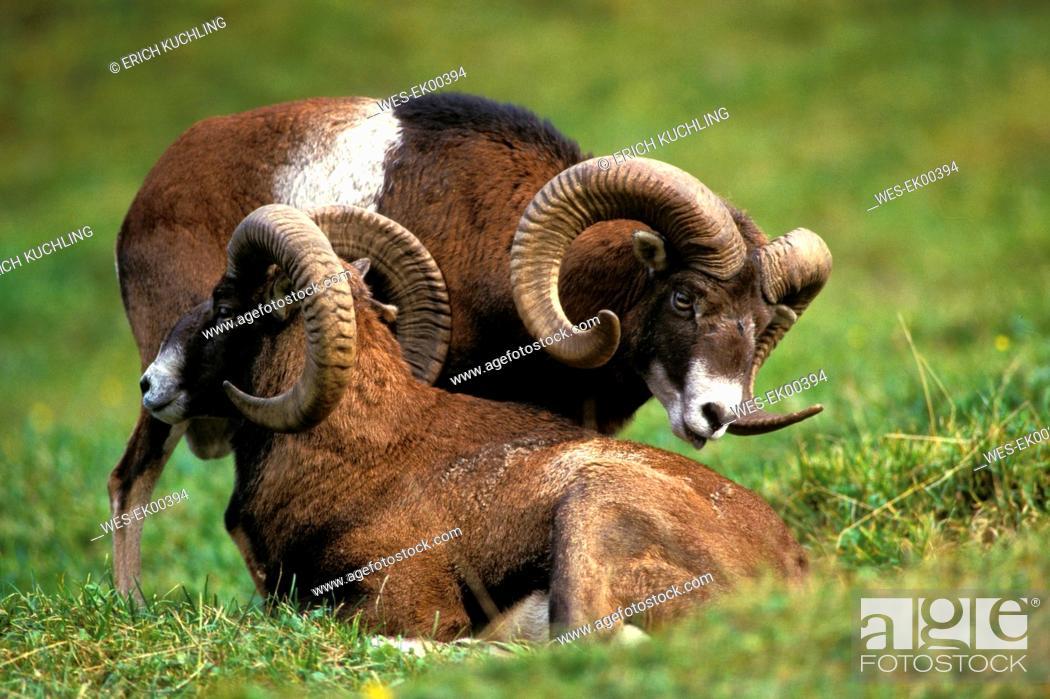 Stock Photo: Mufflon, Ovius musimon.