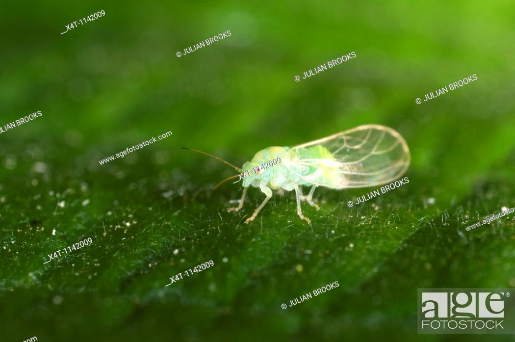 Stock Photo: extreme close up of a tiny green aphid on leaf.