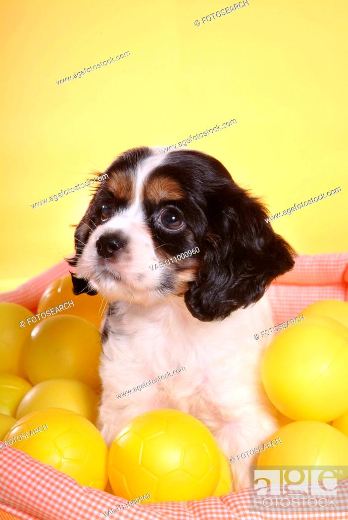 Stock Photo: cute, english cocker spaniel, loving, canines, domestic, house pet, cocker spaniel.