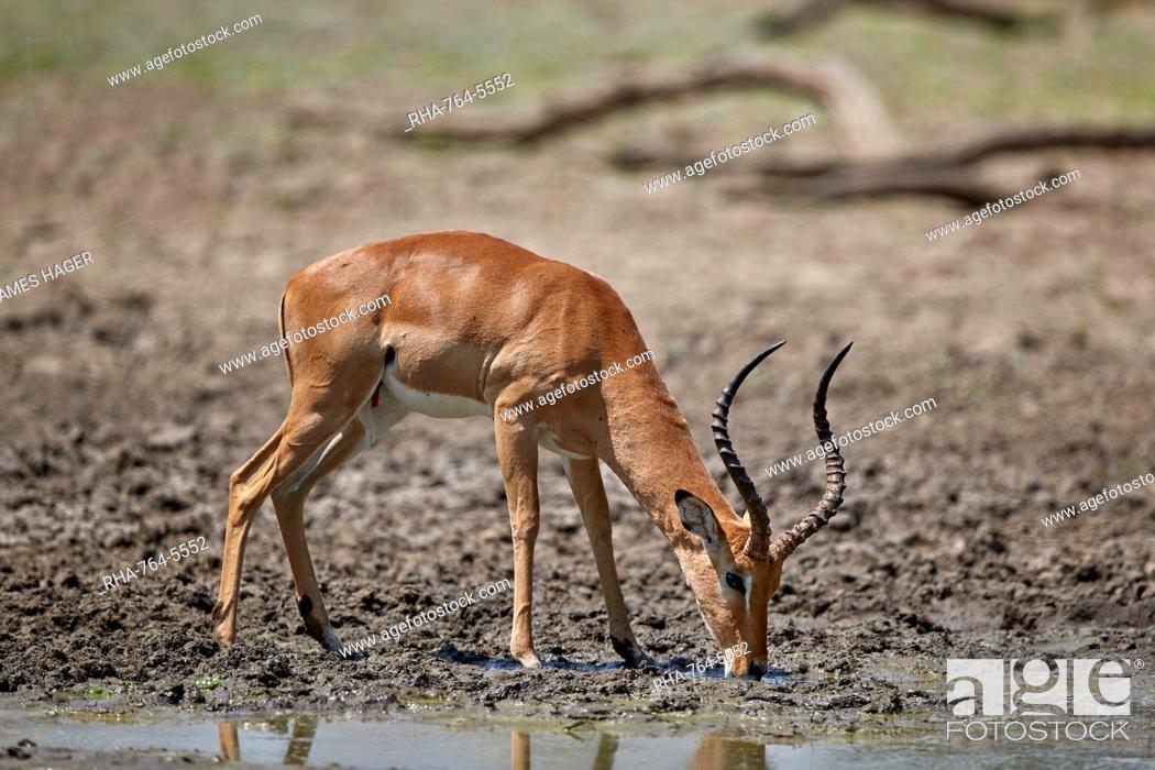 Imagen: Impala (Aepyceros melampus) buck drinking, Selous Game Reserve, Tanzania, East Africa, Africa.