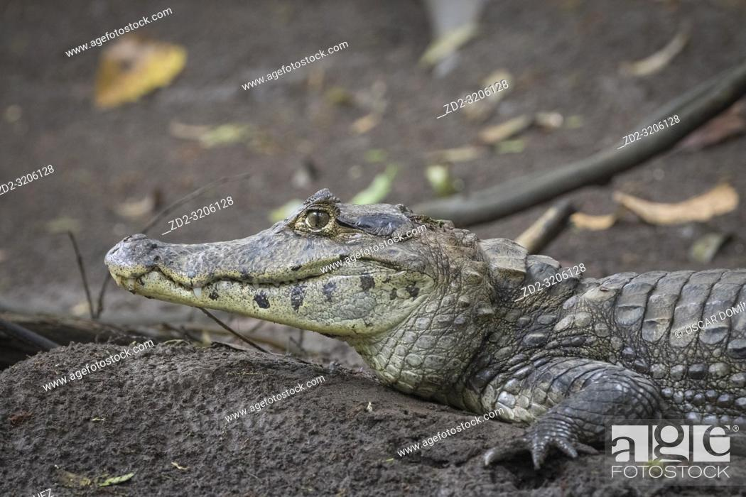 Stock Photo: Spectacled Caiman (Caiman crocodilus) portrait. Puerto Viejo river. Heredia province. Costa Rica.