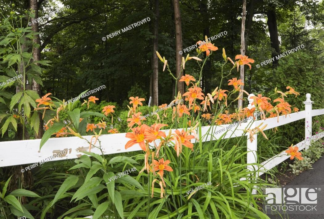 Stock Photo: White painted wooden ranch style fence and orange Hemerocallis - Daylily flowers in front yard garden in summer.