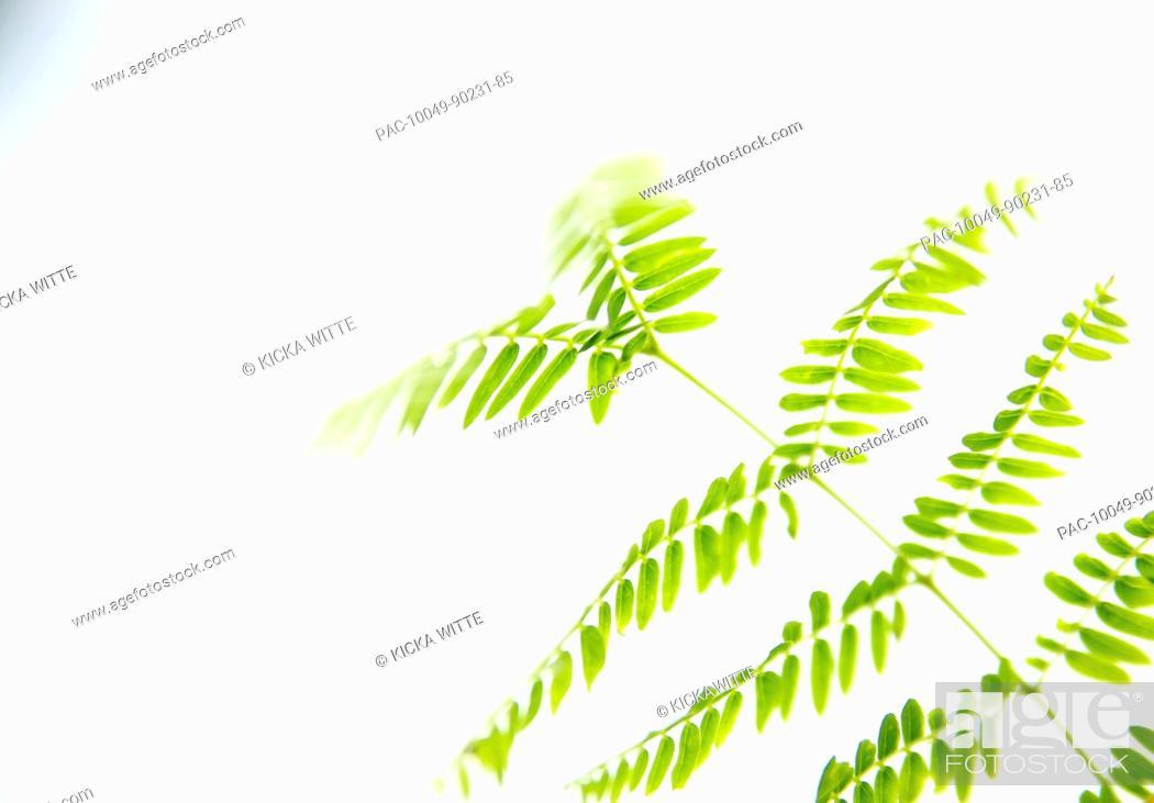 Stock Photo: Hawaii, Kauai, Green Royal Poinciana tree leaves with white studio background.
