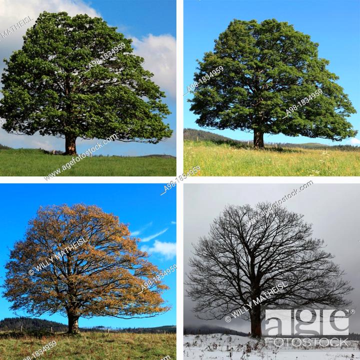 Stock Photo: digital Composite of four seasons of a Single Sycamore Maple Tree on meadow, Sumava National Park, Bohemia, Czech Republic, Europe.