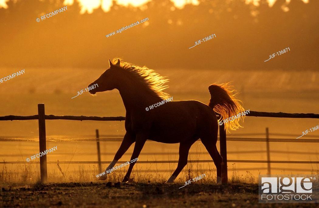 Stock Photo: Arabian horse on meadow - sunset.