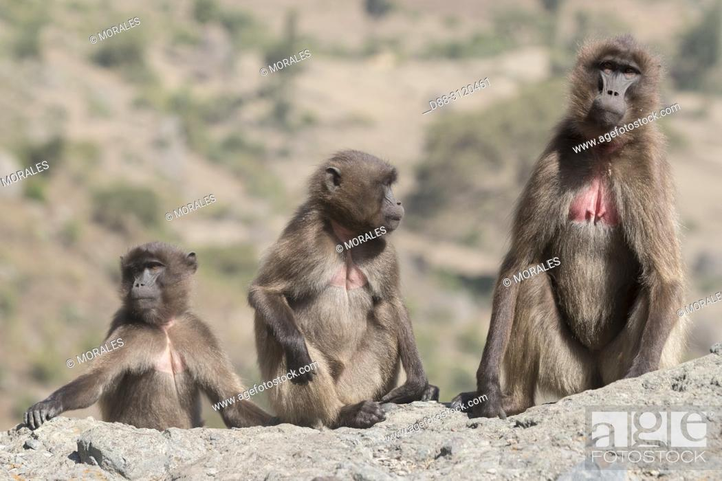 Stock Photo: Africa, Ethiopia, Rift Valley, Debre Libanos, Gelada or Gelada baboon (Theropithecus gelada), group of females with babies.