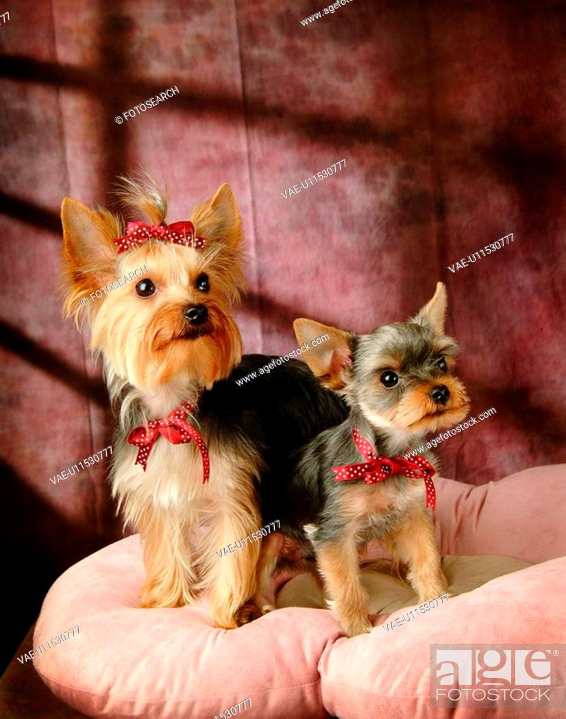 Stock Photo: domestic, yorkshire, yorkie, yorky, terrier, yorkshire terrier.