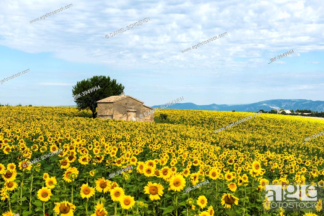 Stock Photo: Sunflower field and small stone house, Plateau de Valensole in Valensole, Provence, Provence-Alpes-Côte d'Azur, France.