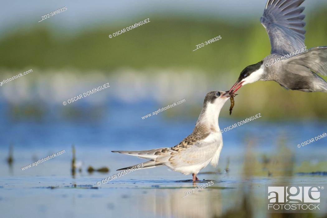 Stock Photo: Whiskered Tern (Chlidonias hybrida) adult feeding young. Nemunas Delta. Lithuania.