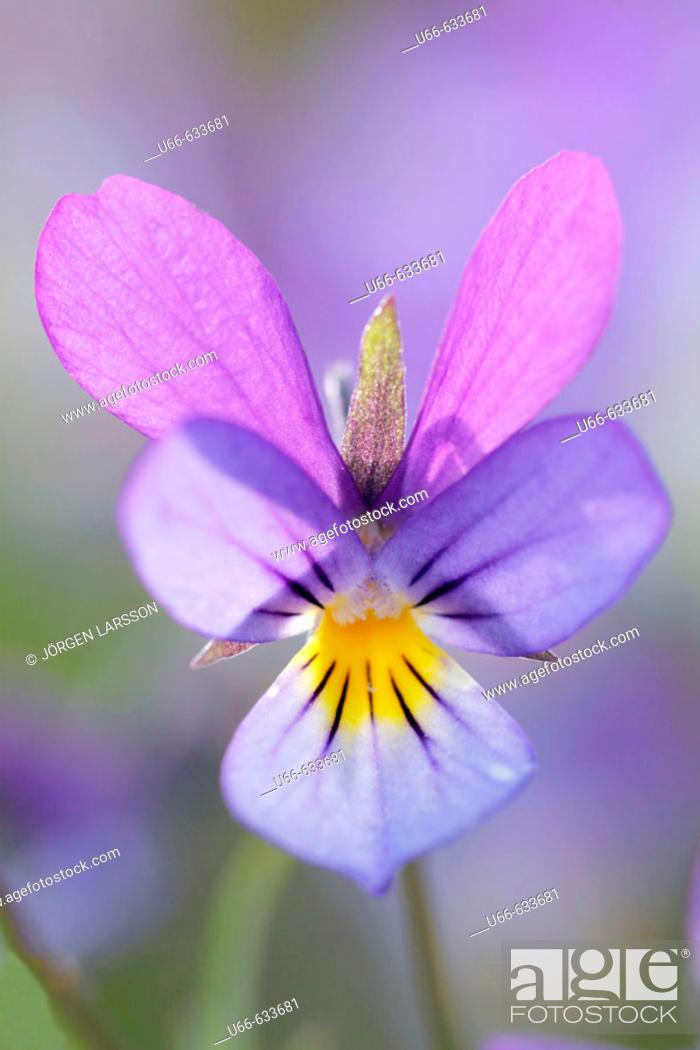 Stock Photo: Pansies (Viola tricolor). Småland. Sweden.