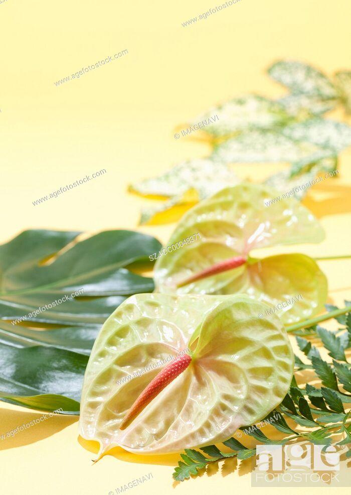 Stock Photo: Anthurium.