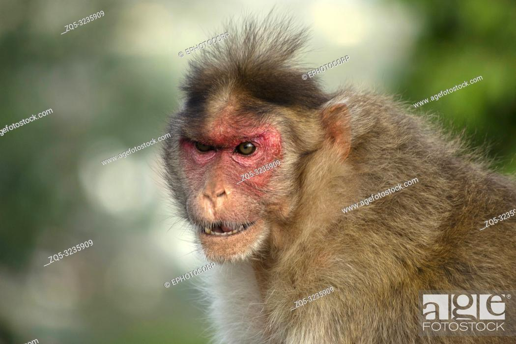 Stock Photo: An angry looking rhesus macaque or monkey, Maharashtra, India.
