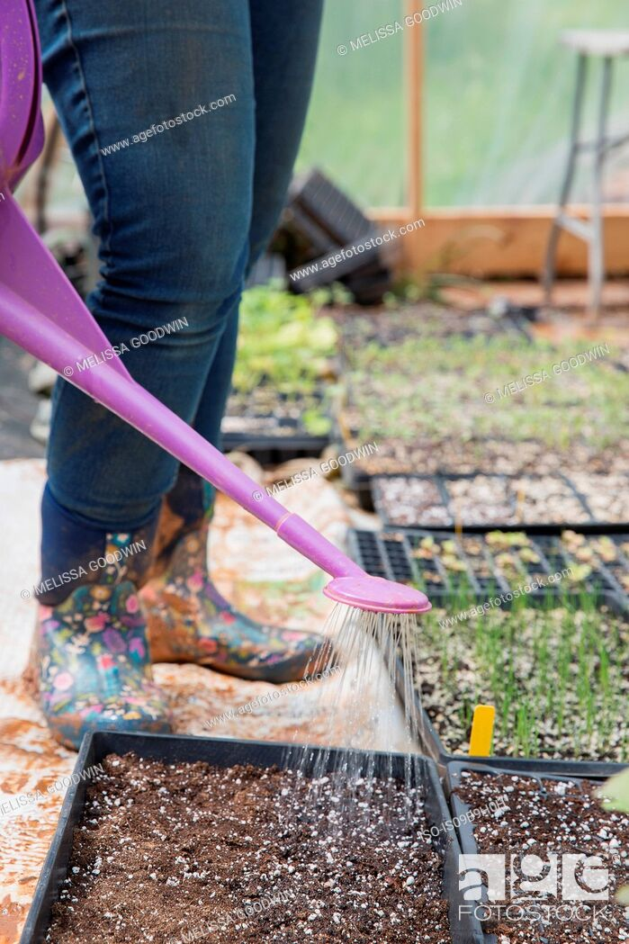 Stock Photo: Cropped view of woman watering seed trays.