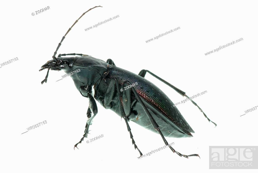 insect ground beetle, Stock Photo, Picture And Royalty Free