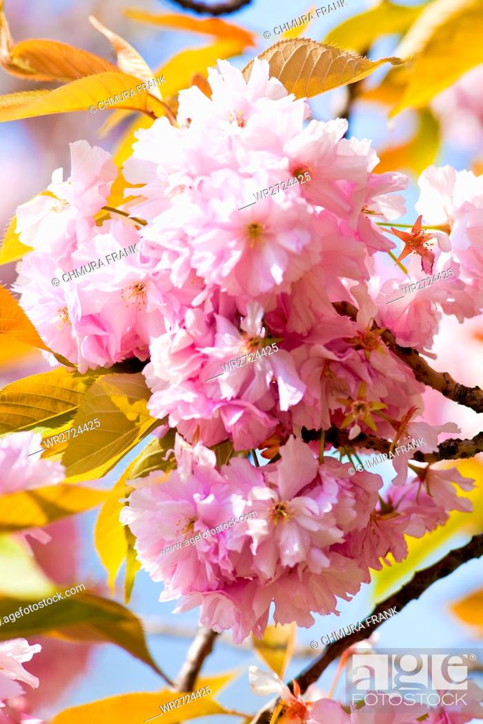 Stock Photo: Close-up of Cherry Flower at Blossom in Spring.