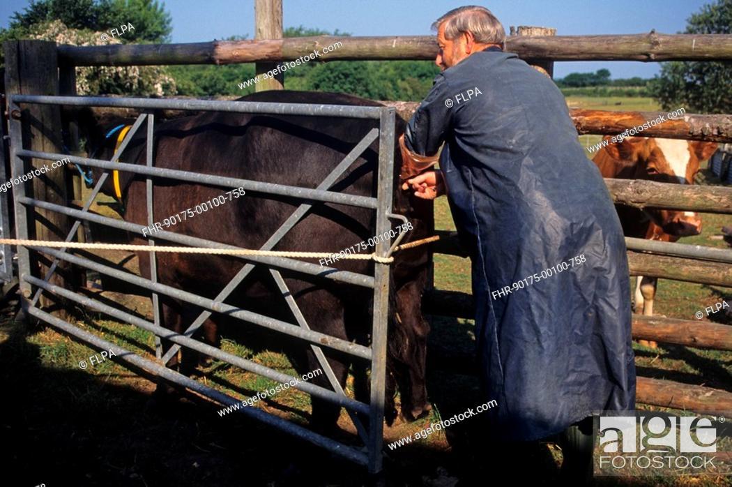 artificial insemination cattle
