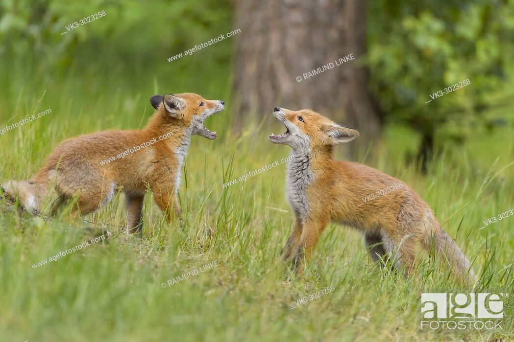 Photo de stock: Red Fox, vulpes vulpes, Two Young Foxes Fighting, Germany, Europe.