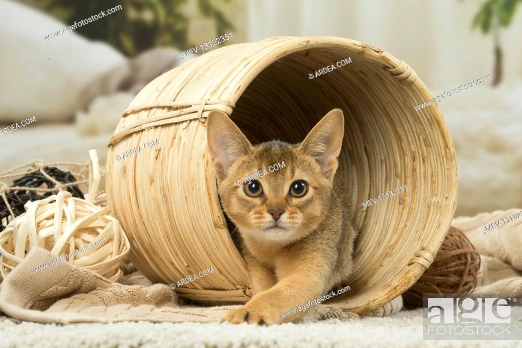 Stock Photo: Abyssinian kitten indoors in a basket.
