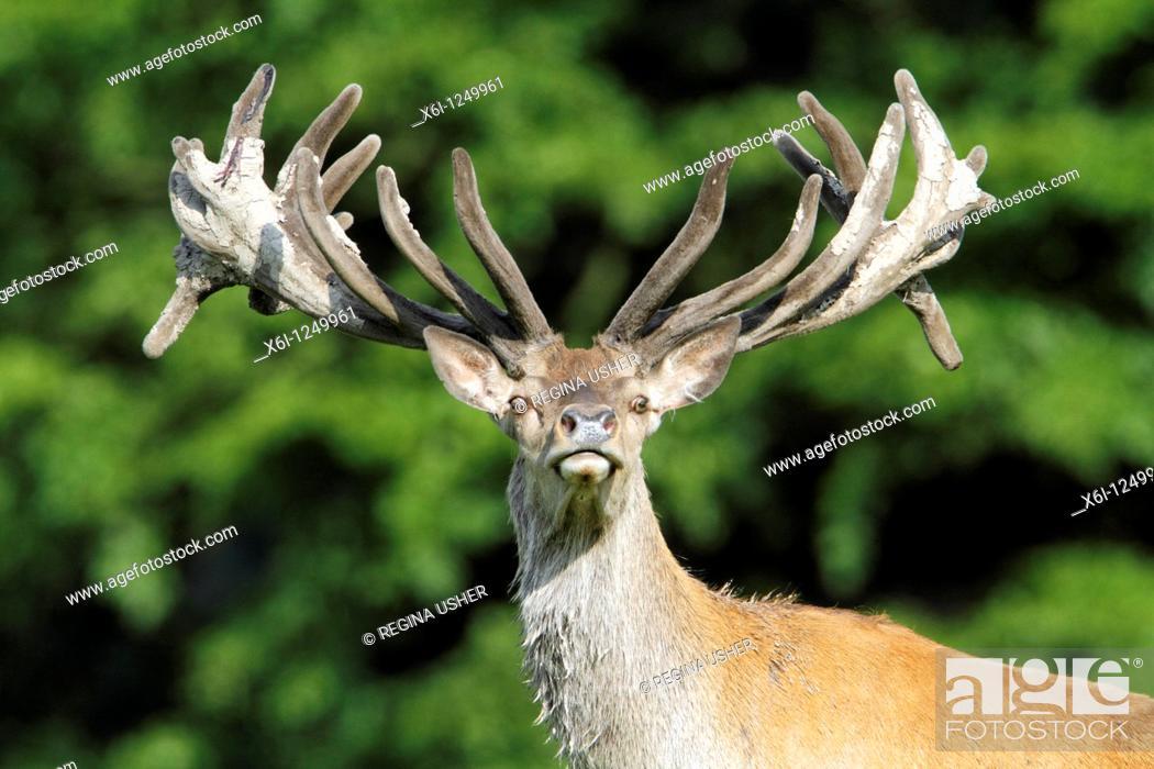 Stock Photo: Red Deer Cervus elaphus, stag with velvet on antlers, alert, Germany.
