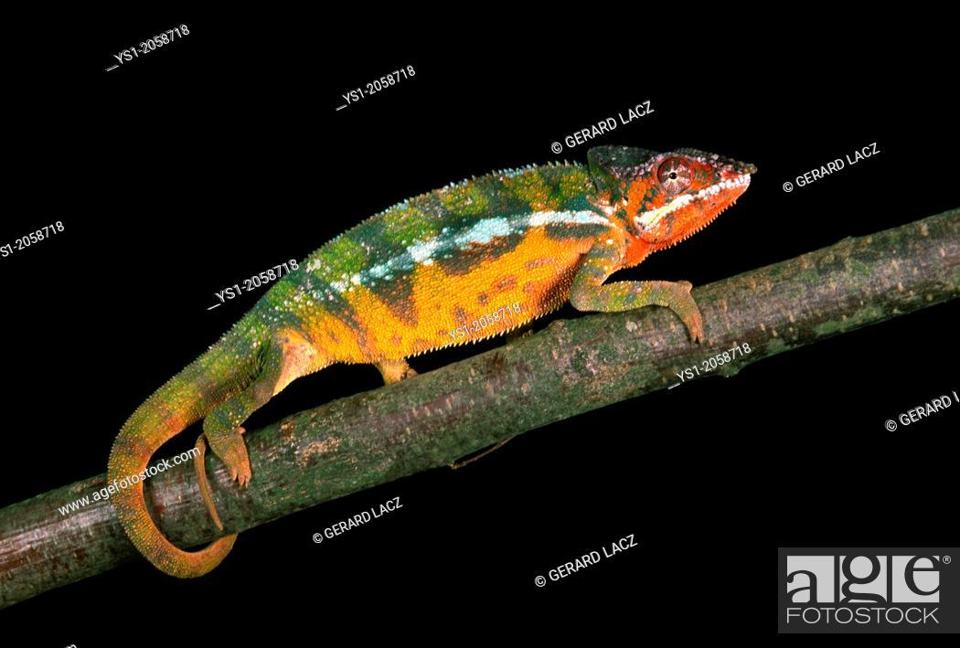 Stock Photo: Jewelled Chameleon or Carpet Chameleon, furcifer lateralis, Adult against Black Background.
