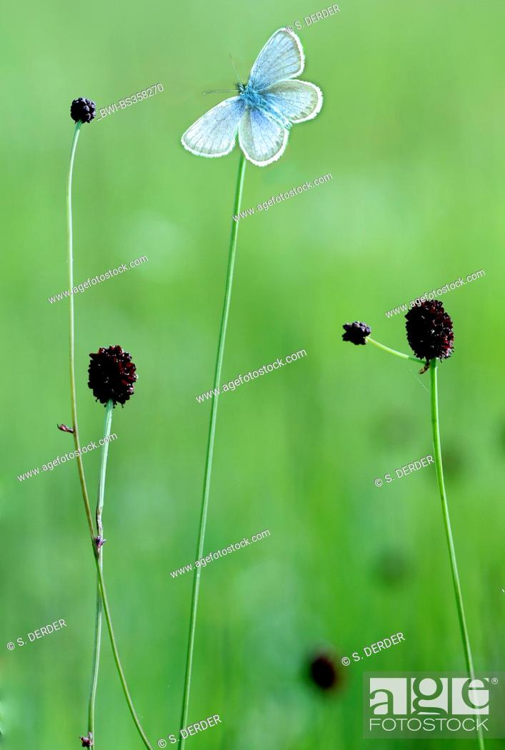 Stock Photo: Great burnet (Sanguisorba officinalis, Sanguisorba major), flowering with gossamer-winged butterfly, Germany, Bavaria, Murnauer Moos.