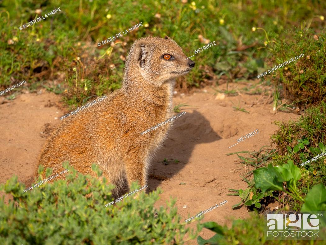 Stock Photo: Yellow mongoose (Cynictis penicillata), or red meerkat or mierkat. Eastern Cape. South Africa.