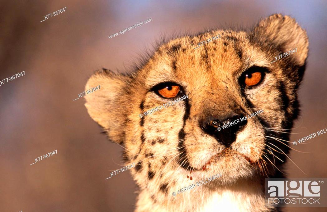 Stock Photo: Cheetah (Acinonyx jubatus) in captivity. Game Farm. Namibia.