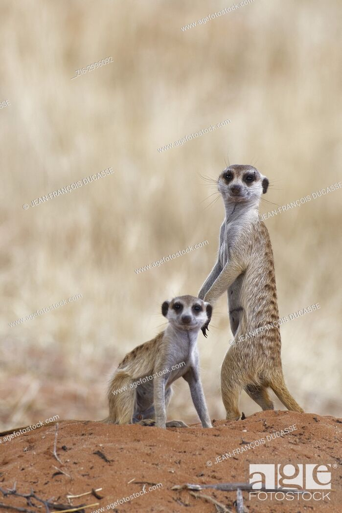 Stock Photo: Meerkats (Suricata suricatta), adult male and young male at the top of the burrow, alert, Kgalagadi Transfrontier Park, Northern Cape, South Africa, Africa.