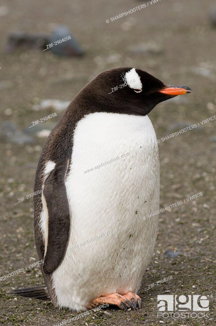 Stock Photo: Antarctica, South Shetland Islands, Aitcho Island, Gentoo Penguin.
