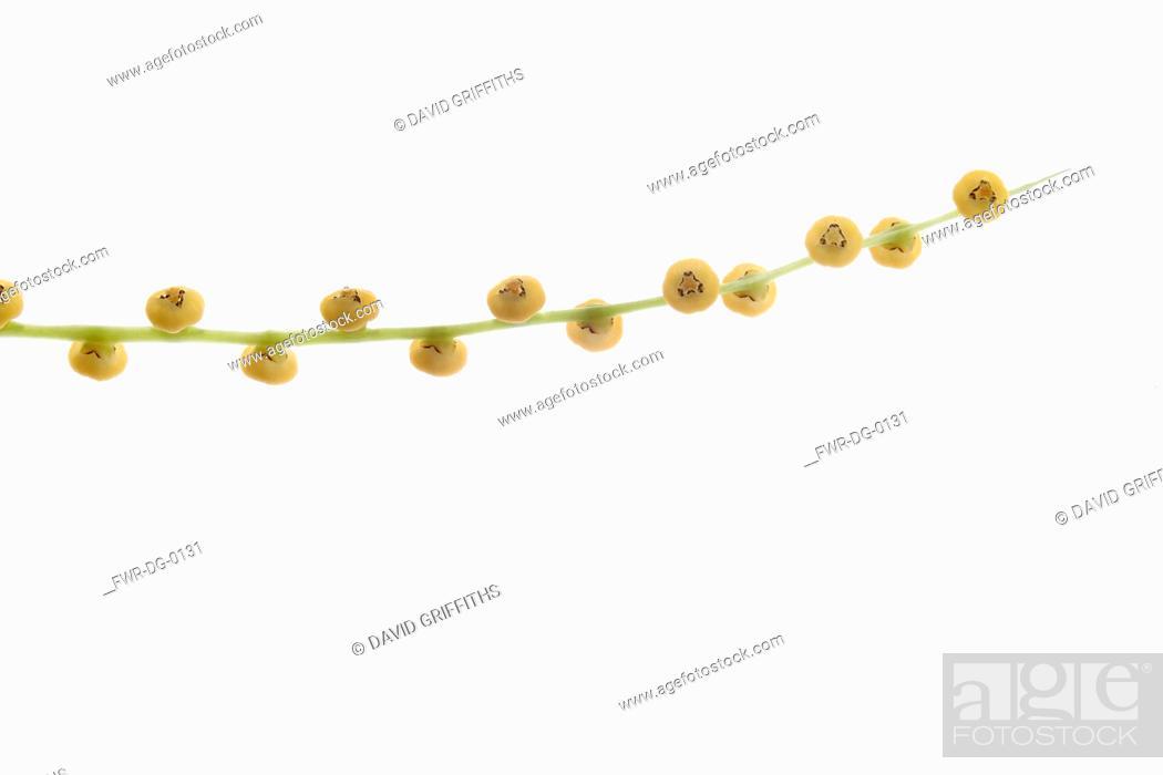Imagen: Parlour Palm, Chamaedora Elegans, A single stem of flowers against a pure white background.