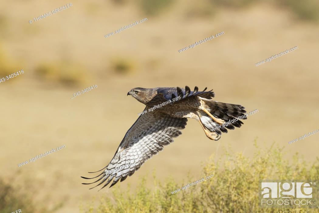Stock Photo: Pale-chanting Goshawk (Melierax canorus). Juvenile. Flying. Kalahari Desert, Kgalagadi Transfrontier Park, South Africa.