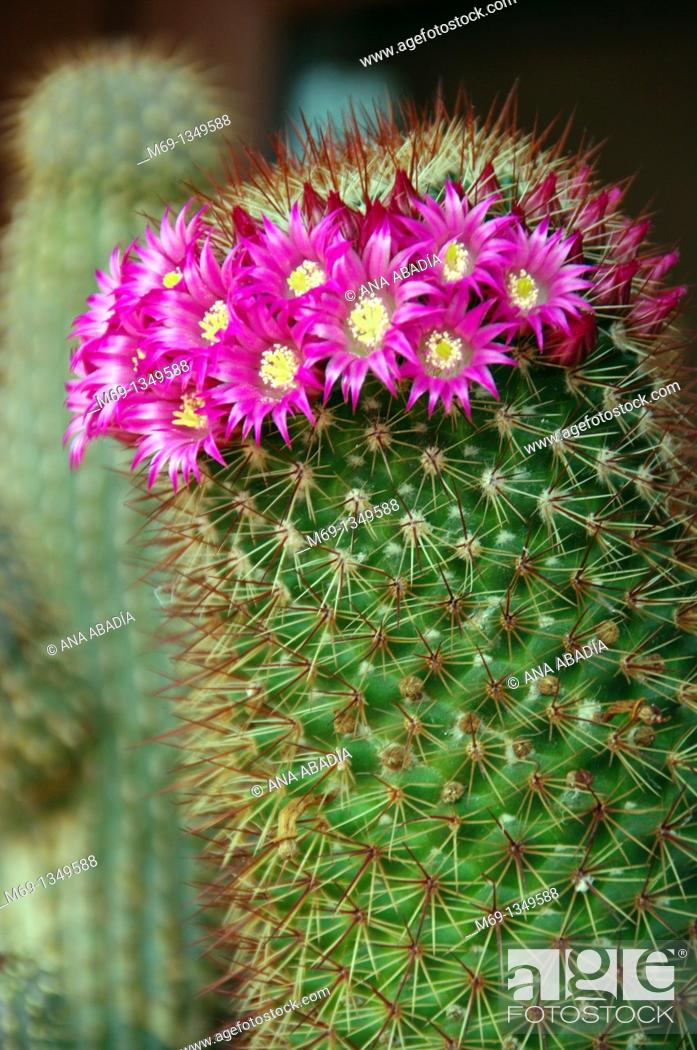 Stock Photo: Pink flowers of cactus.