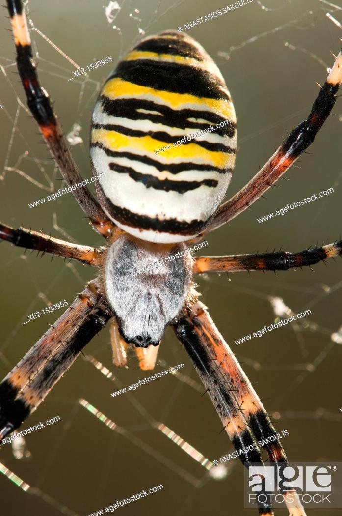 Stock Photo: Argiope bruennichi, or the wasp spider, Crete.