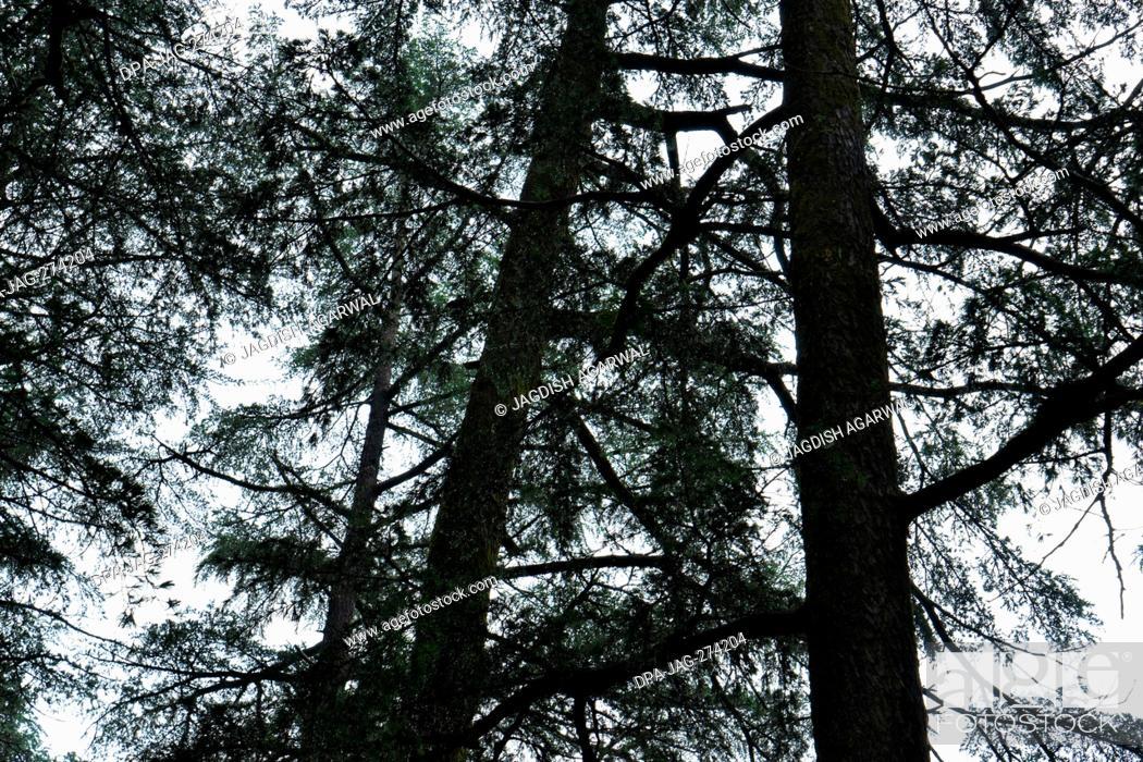 Stock Photo: Cedar trees, Deodars Guest House, Papersali, Almora, Uttarakhand, India, Asia.