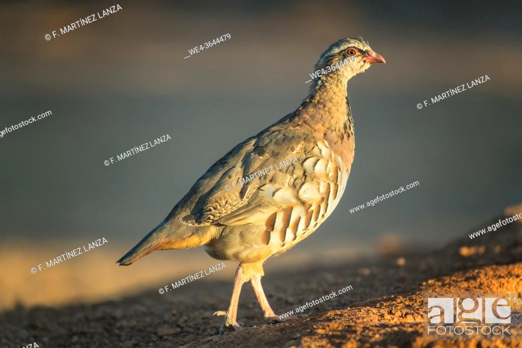 Stock Photo: Red partridge walking in the field.