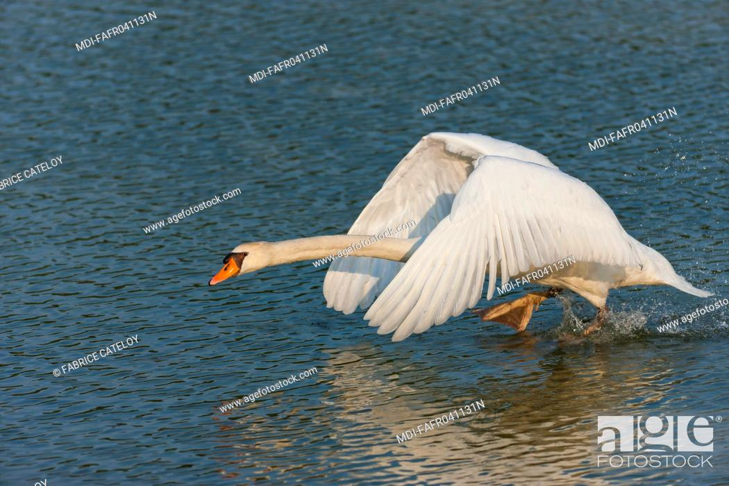 Stock Photo: Nature - Fauna - Bird - Attack of a male swan in order to protect its nest.