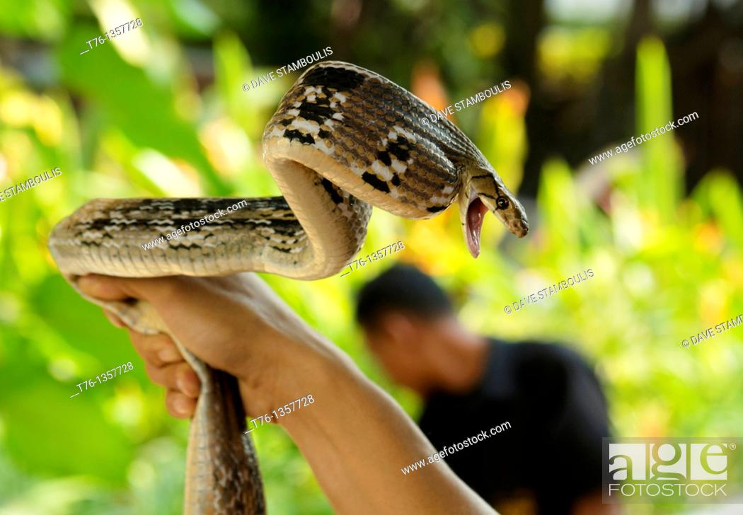 Stock Photo: Banded Rat Snake Ptyas mucosa maximus being handled in Thailand.