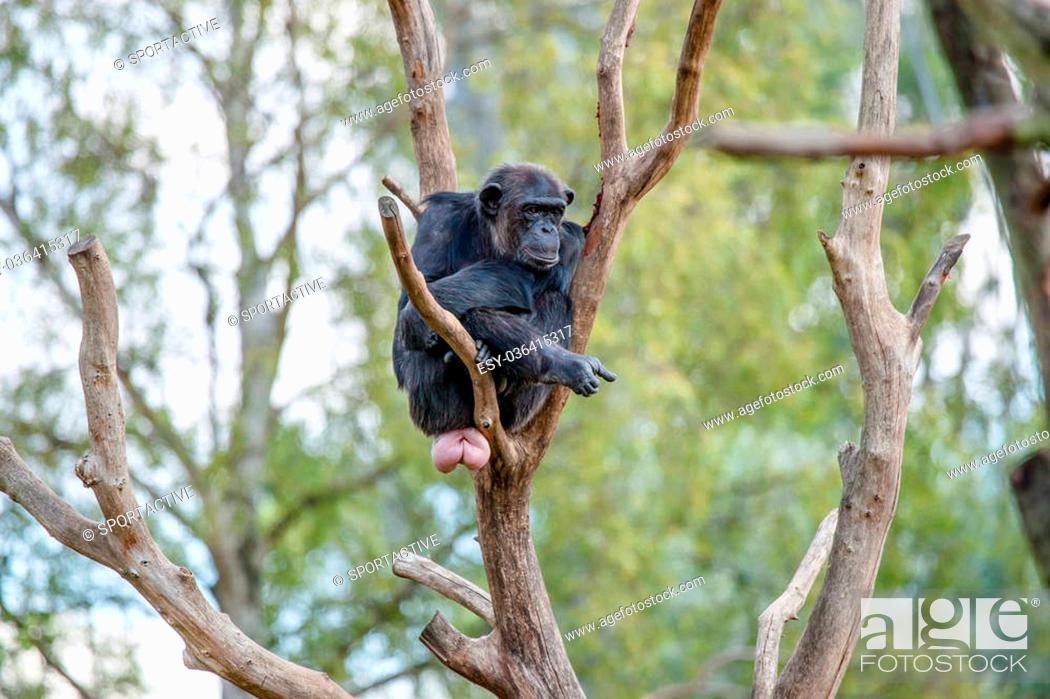 Imagen: Bored chimpanzee in a tree in the zoo.