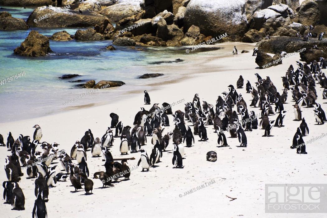 Stock Photo: Penguins African Penguin Spheniscus demersus Jackass Penguin Boulders Beach Simonstown South Africa.