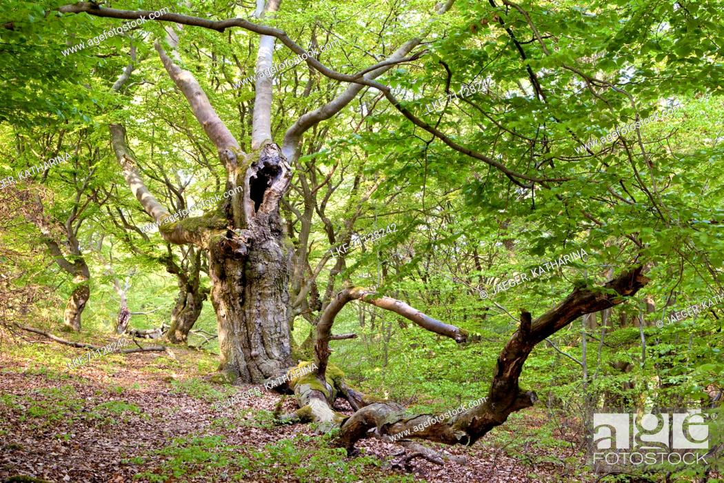 Stock Photo: Very old hollowed out common beech trees (Fagus sylvatica) used to feed livestock in Hutewald Halloh wood pasture forest Albertshausen, Hesse, Germany, Europe.