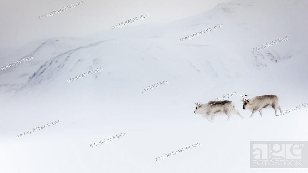 Stock Photo: Svalbard reindeer (Rangifer tarandus platyrhynchus) in Spitsbergen.