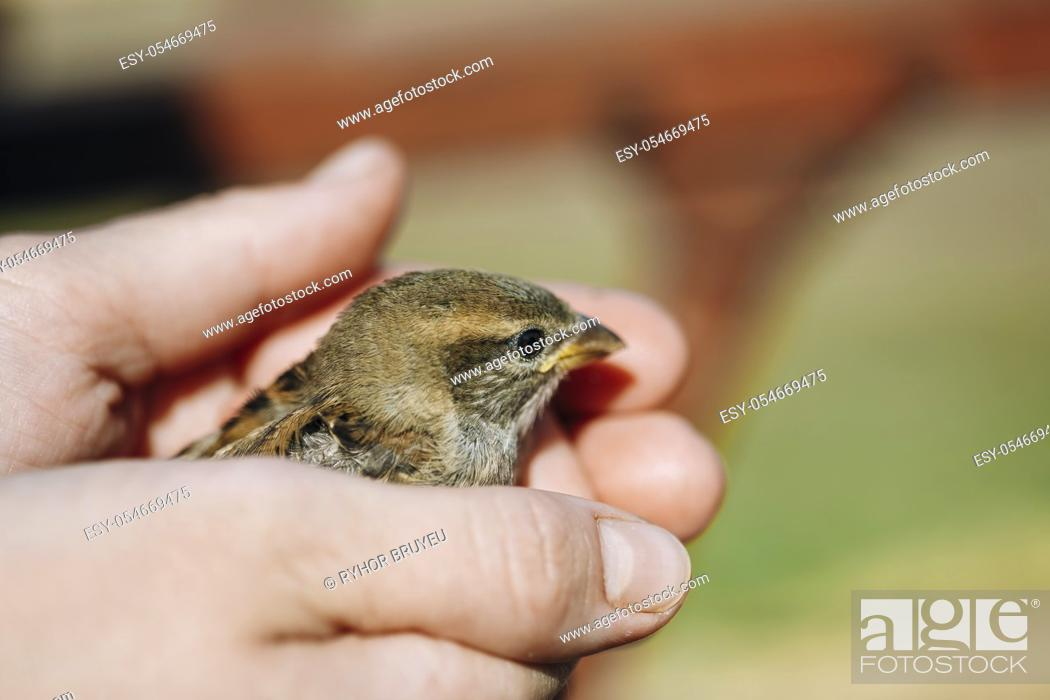 Stock Photo: Young Bird Nestling House Sparrow - Passer Domesticus - Chick In Female Hands.