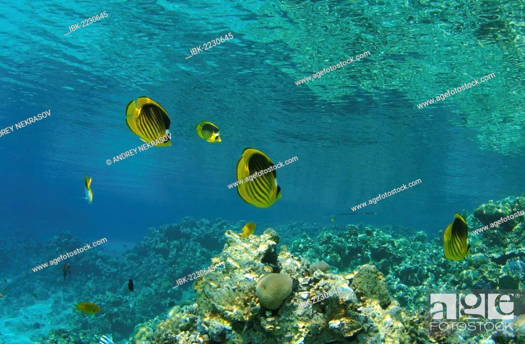 Stock Photo: Striped fish butterfly, butterflyfish (Chaetodon fasciatus), Red Sea, Egypt, Africa.
