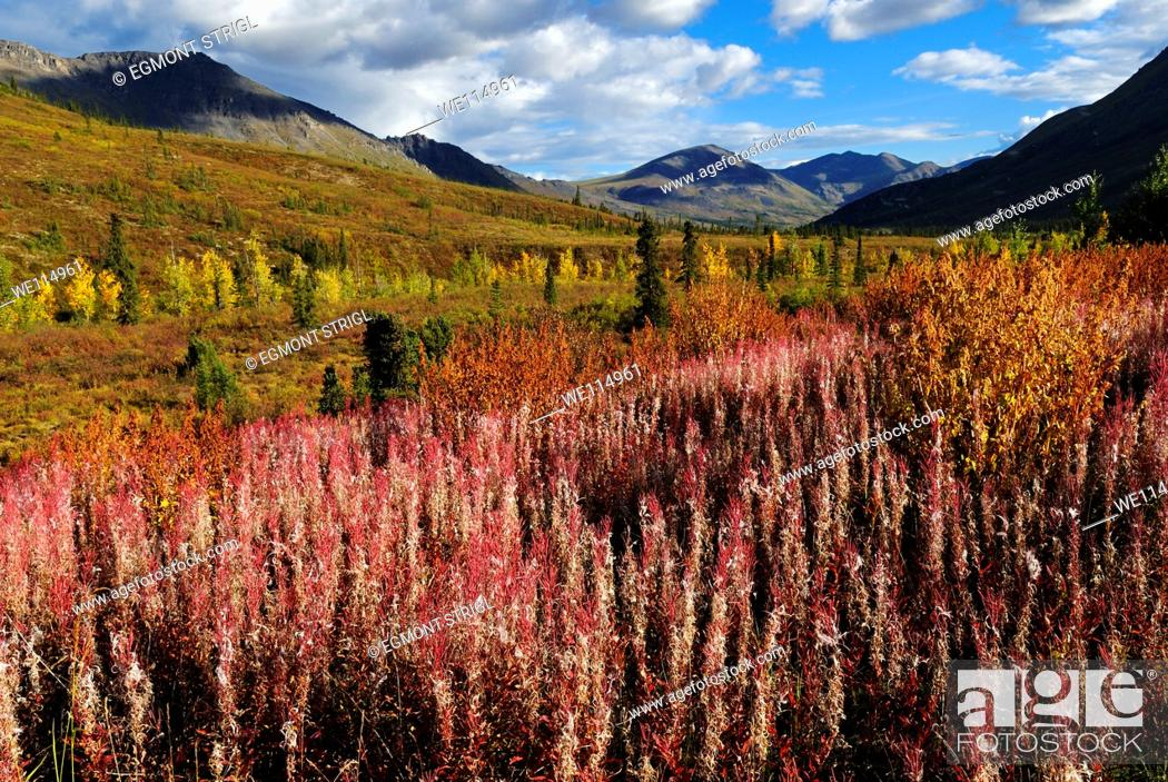 Imagen: red fireweed at Tombstone Territorial Park, Dempster Highway, Yukon Territory, Canada, North America.