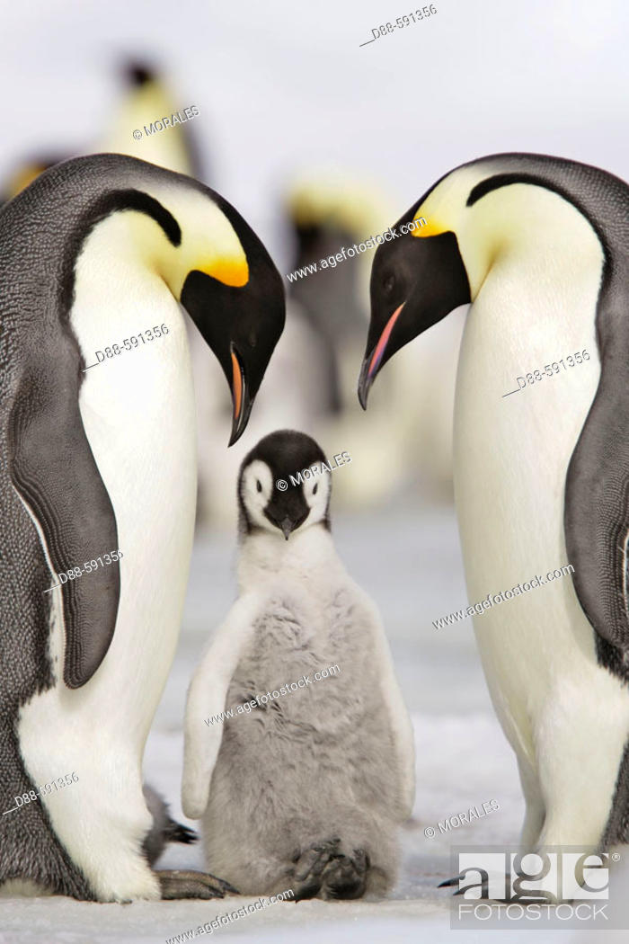 Stock Photo: Emperor Penguins (Aptenodytes forsteri). Snow Hill Island. Antarctica.